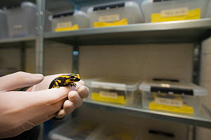 A wild Fire salamander (Salamandra salamandra) held in gloved hands in front of plastic trays containing more fire salamanders, part of a program to capture the last wild population in the Netherlands...  -  Edwin Giesbers