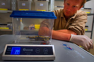 A wild Fire salamander (Salamandra salamandra) being weighed by Bas Martens, Head of Animal Care at GaiaZOOas part of a program to capture the last wild population in the Netherlands and keep it safe...  -  Edwin Giesbers