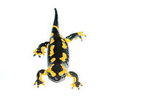 Wild Fire salamander (Salamandra salamandra) captured and kept safe in GaiaZOO to prevent infection from a deadly fungus, Batrachochytrium dendrobatidis. The Netherlands, August, 2014.  -  Edwin Giesbers