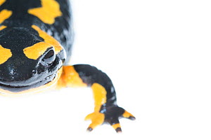 Close -up of a wild Fire salamander (Salamandra salamandra) captured and kept safe in GaiaZOO to prevent infection from a deadly fungus, Batrachochytrium dendrobatidis. The Netherlands, August, 2014.  -  Edwin Giesbers