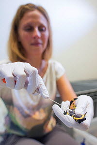 Professor Dr. An Martel, University of Ghent, taking a swab from a Fire salamander (Salamandra salamandra) to check whether any DNA of the fungus Batrachochytrium dendrobatidis is present. The Fire sa...  -  Edwin Giesbers