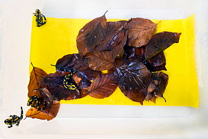 Wild Fire salamanders (Salamandra salamandra) on a plastic tray with damp leaves, part of a program to capture the last wild population in the Netherlands and kept it safe in GaiaZOO to prevent infect...  -  Edwin Giesbers