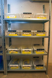 Shelves with containers housing the last wild Fire salamanders (Salamandra salamandra) in the Netherlands, captured and kept safe in GaiaZOO to prevent infection from a deadly fungus, Batrachochytrium...  -  Edwin Giesbers