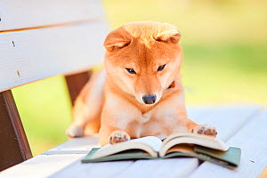 Shiba Inu dog sitting looking at a book. Japan.  -  Aflo