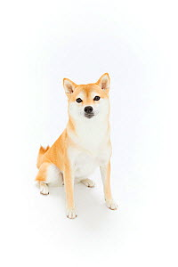Shiba Inu dog standing, white background.  Japan.  -  Aflo
