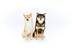 Two Shiba Inu dog sitting, white background. Japan.  -  Aflo