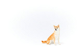 Shiba Inu dog sitting, white background. Japan.  -  Aflo