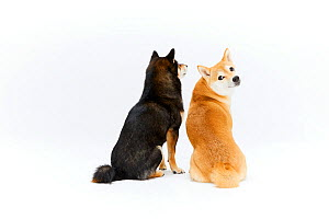 Two Shiba Inu dogs sitting, rear view, white background, Japan.  -  Aflo