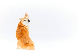 Shiba Inu dog sitting rear view white background,  Japan.  -  Aflo