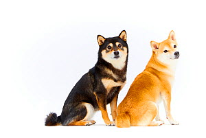 Two Shiba Inu dogs sitting side by side, white background,  Japan.  -  Aflo