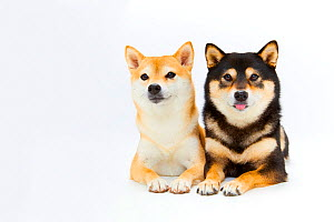 Two Shiba Inu dogs lieing side by side. Japan.  -  Aflo