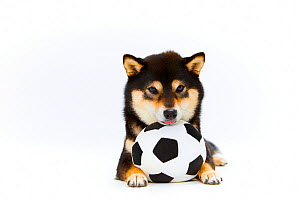 Shiba Inu dog with toy football. Japan.  -  Aflo