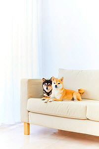 Two Shiba Inu dogs on sofa. Japan.  -  Aflo