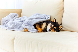 Two Shiba Inu dog sleeping on sofa. Japan.  -  Aflo