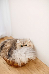 Long haired Persian cat in house. Japan.  -  Aflo