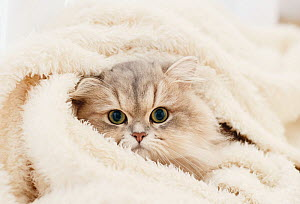 Long hared Persian cat wrapped in towel. Japan.  -  Aflo