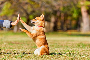 Shiba Inu dog giving high five to owner. Japan.  -  Aflo