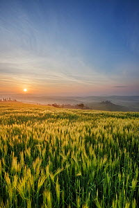 Cereal crop at sunrise, misty hills in distance. Val d'Orcia, Tuscany, Italy. April 2010.  -  Guy Edwardes