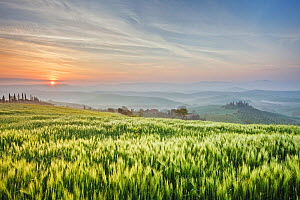 Cereal crop at sunrise, misty hills in background. Val d'Orcia, Tuscany, Italy. April 2010.  -  Guy Edwardes