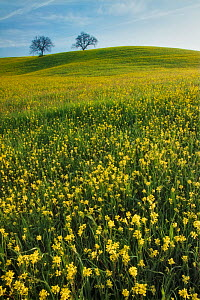 Field of Mustard (Sinapis arvensis), two trees on hill in distance. Near San Quirico d'Orcia, Val d'Orcia, Tuscany, Italy. April 2010.  -  Guy Edwardes