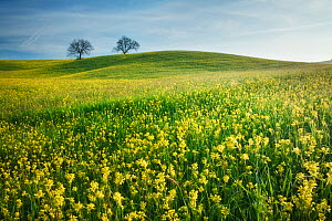 Two trees in field of Mustard (Sinapis arvensis). Near San Quirico d'Orcia, Val d'Orcia, Tuscany, Italy. April 2010.  -  Guy Edwardes