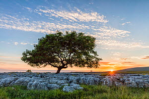 Ash (Fraxinus excelsior) tree on limestone pavement at sunset. Twistleton Scar, Ingleton, Yorkshire Dales National Park, England, UK. June 2016.  -  Guy Edwardes