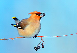 Waxwing (Bombycilla garrulus) feeding on berries, perched on branch. Finland. February.  -  Guy Edwardes