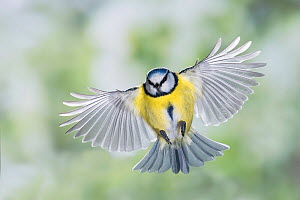 Blue tit (Cyanistes caeruleus) in flight. Slovenia. February.  -  Guy Edwardes