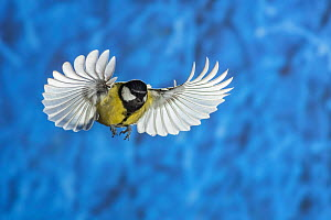 Great tit (Parus major) in flight. Slovenia. February.  -  Guy Edwardes