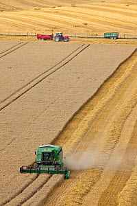 Combine harvester harvesting cereal crop, tractor and trailers in background. Maiden Castle, Dorset, England. August 2010.  -  Guy Edwardes
