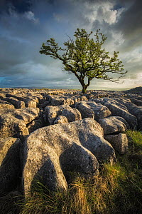 Tree viewed across limestone pavement, in evening light. Twisleton Scars, Yorkshire Dales National Park, North Yorkshire, England, UK. May 2015.  -  Guy Edwardes