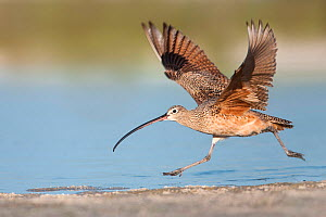 Long-billed curlew (Numenius americanus) taking off along shoreline. Fort De Soto Park, Florida, USA. April.  -  Guy Edwardes