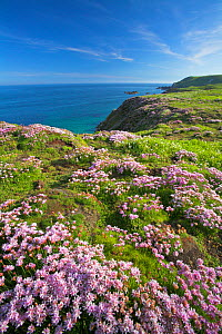 Thrift (Armeria maritima) on cliff top. Great Saltee Island, County Wexford, Republic of Ireland. June 2006.  -  Guy Edwardes
