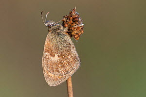 Small heath butterfly (Coenonympha pamphilus), wings covered with dew droplets. Klein Schietveld, Brasschaat, Belgium  -  Bernard Castelein