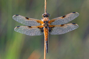 Four spotted chaser (Libellula quadrimaculata) resting on stem, wings covered in dew. Klein Schietveld, Brasschaat, Belgium. May.  -  Bernard Castelein