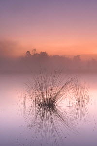 Tussocks reflected in misty fen at dawn. Klein Schietveld, Brasschaat, Belgium. April 2020.  -  Bernard Castelein