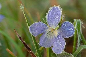 Dog violet (Viola canina) covered with ice particles. Klein Schietveld, Brasschaat, Belgium. May.  -  Bernard Castelein