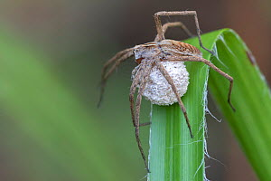Nursery web spider (Pisaura mirabilis) female with egg sac. Brasschaat, Belgium. June.  -  Bernard Castelein