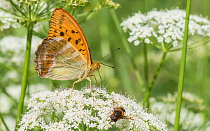 Silver-washed fritillary (Argynnis paphia) butterfly male nectaring alongside Bee-fly. Jyvaskyla, Central Finland. July.  -  Jussi Murtosaari