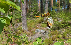 Silver-washed fritillary (Argynnis paphia) butterfly pair mating in flight, in woodland. Jyvaskyla, Central Finland. July.  -  Jussi Murtosaari