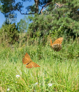Silver-washed fritillary (Argynnis paphia) butterfly, pair flying in grassland. Lielahti, Aboland, Finland. July.  -  Jussi Murtosaari