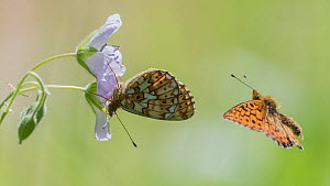 Pearl-bordered fritillary (Boloria euphrosyne) butterfly, pair, in flight and nectaring. Jyvaskyla, Central Finland. June.  -  Jussi Murtosaari