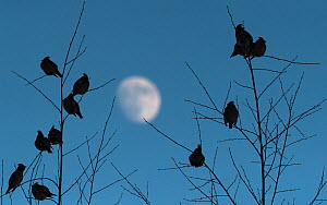 Bohemian waxwing (Bombycilla garrulus) flock perched in trees at dusk, moon in background. Laukaa, Central Finland. February.  -  Jussi Murtosaari