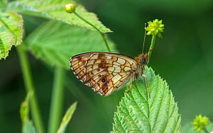 Lesser marbled fritillary (Brenthis ino) butterfly resting on leaf. Luhanka, Central Finland. June.  -  Jussi Murtosaari