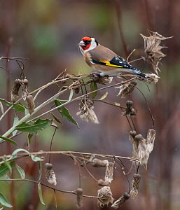 Goldfinch (Carduelis carduelis) feeding on Thistle seeds. Muurame, Central Finland. November.  -  Jussi Murtosaari