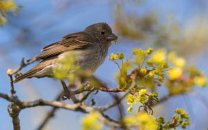 Common rosefinch (Carpodacus erythrinus) female feeding on blossom. Uto, Aboland, Finland. May.  -  Jussi Murtosaari
