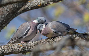 Wood pigeon (Columba palumbus) pair in courtship. Aland Islands, Finland. April.  -  Jussi Murtosaari
