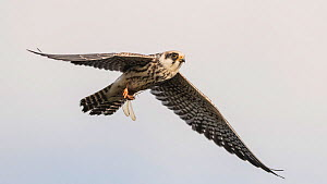 Red-footed falcon (Falco vespertinus) juvenile flying with dragonfly in talons. Jamsa, Central Finland. August.  -  Jussi Murtosaari