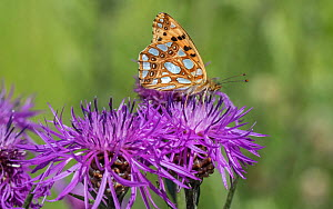Queen of Spain fritillary (Issoria lathonia) butterfly nectaring on Knapweed. Pargas, Aboland, Finland. July.  -  Jussi Murtosaari
