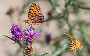 Queen of Spain fritillary (Issoria lathonia) butterfly, two, one nectaring, the other in flight. Pargas, Aboland, Finland. July.  -  Jussi Murtosaari